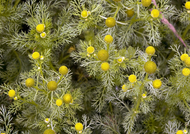 Pineapple mayweed (Matricaria discoidea)