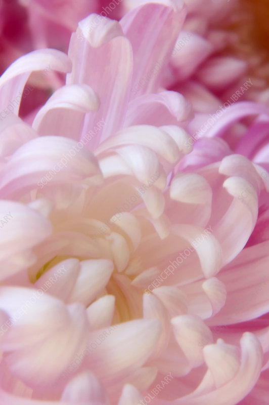 Irregular incurve chrysanthemum