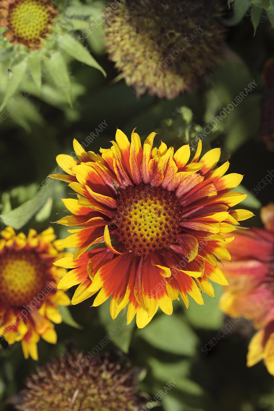 Blanket flower (Gaillardia 'Arizona Sun')