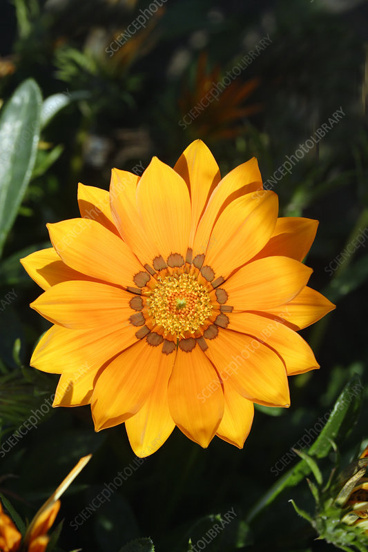 Treasure flower (Gazania 'Kiss Orange')