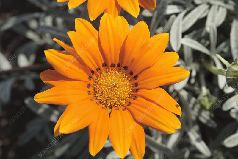 Treasure flower (Gazania 'Talent Orange')