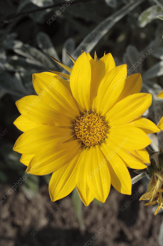 Treasure flower (Gazania 'Talent Yellow')