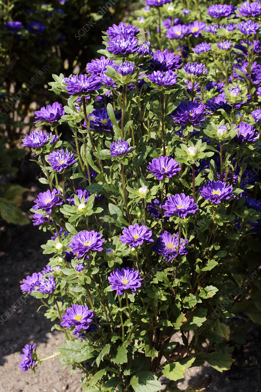 Chinese aster 'Serenade Light Blue'