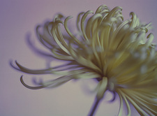Chrysanthemum flower (Chrysanthemum sp.)