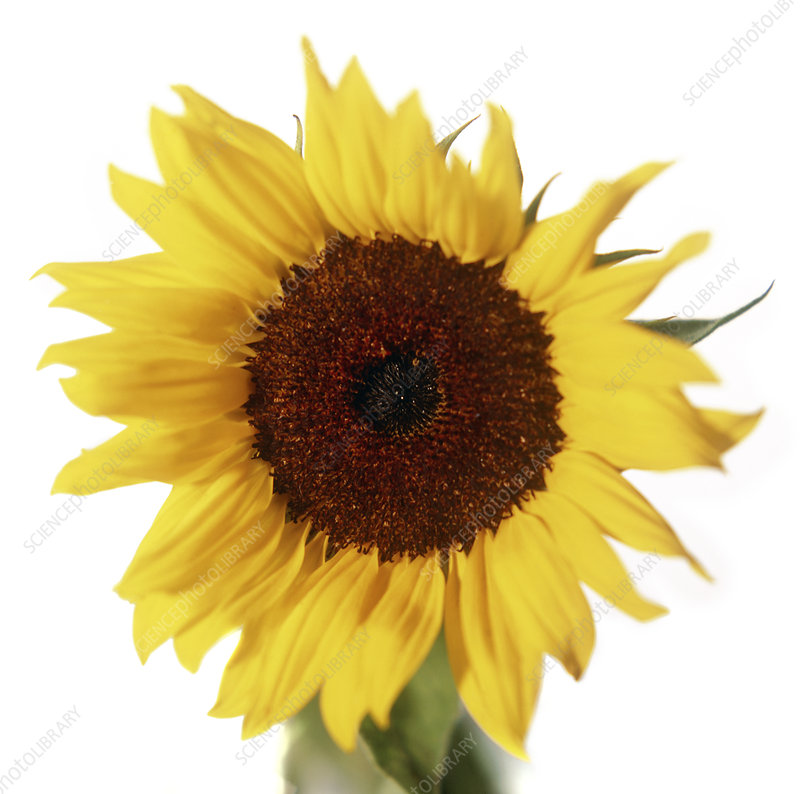 Sunflower (Helianthus sp.)