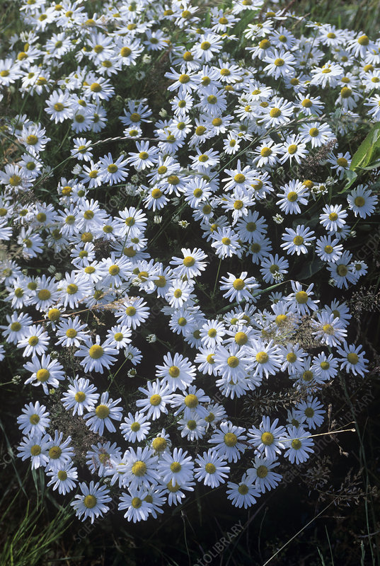 Scentless Mayweed (Matricaria Maritima)