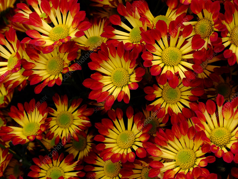 Chrysanthemum 'Roma'