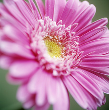 Gerbera flower (Gerbera sp.)