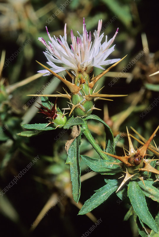Star thistle (Centaurea calcitrapa)
