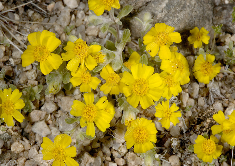 Woolly daisy (Eriophyllum wallacei)