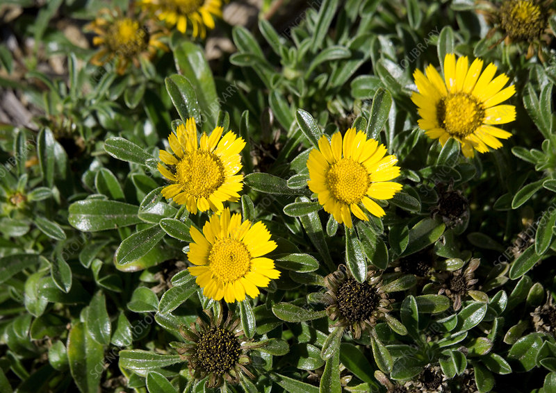 Asteriscus maritimus 'Compact Gold Coin'