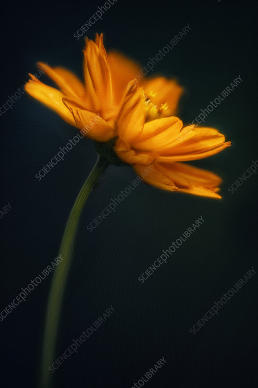 Orange cosmos (Cosmos sulphureus)