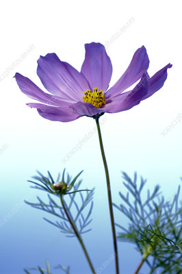 Cosmos flower (Cosmos sp.)