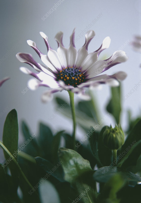 Osteospermum 'Philip White Spoon')