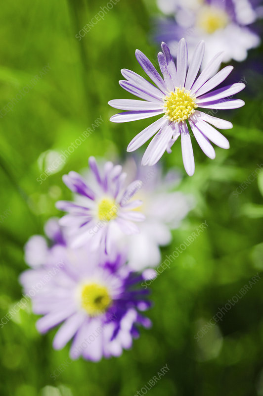 Aster flowers (Aster sp.)