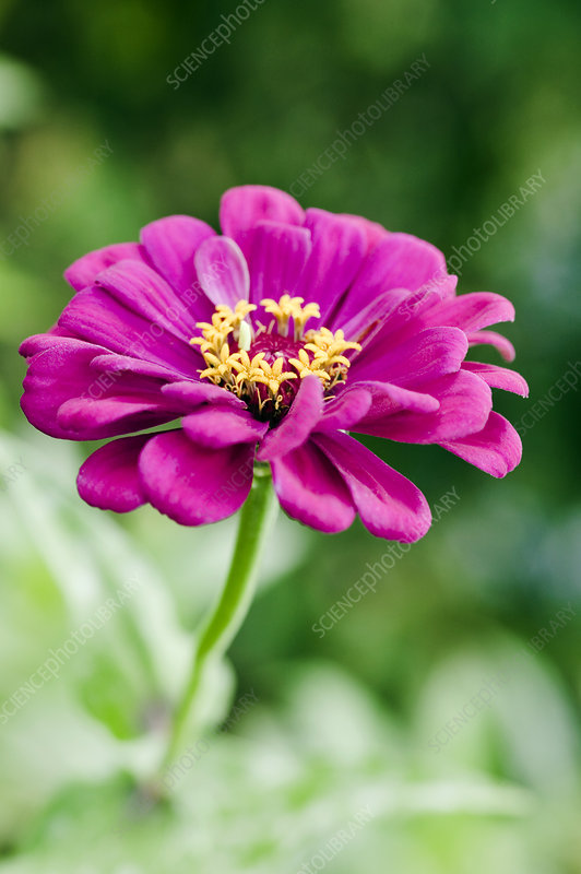 Zinnia flower (Zinnia sp.)
