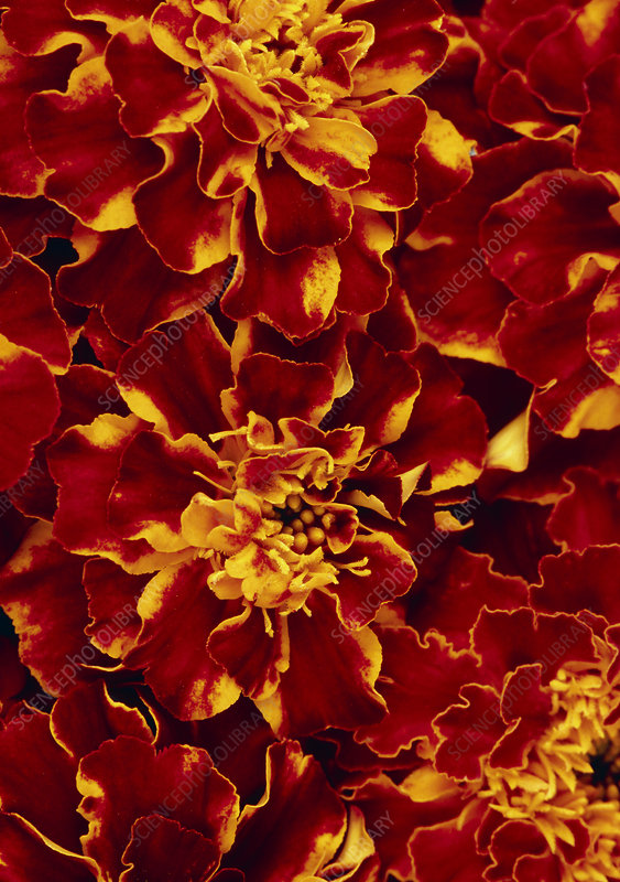 French marigold (Tagetes 'Red Brocade')