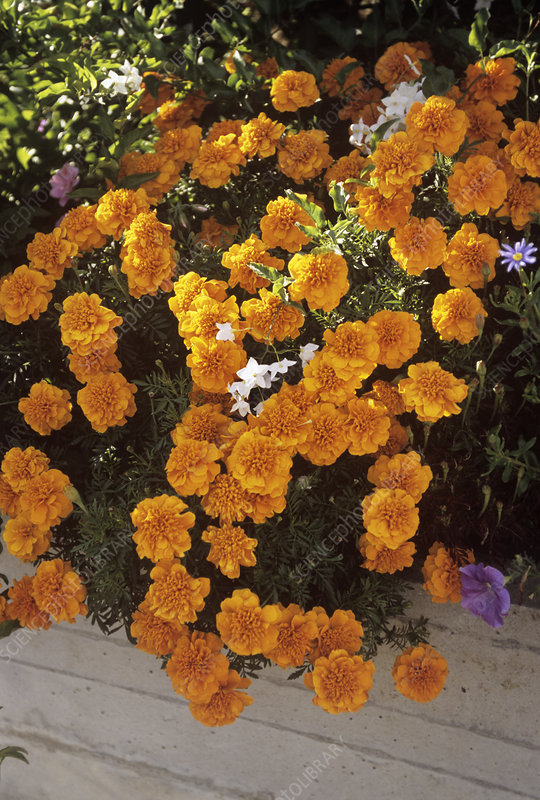 French marigolds (Tagetes sp.)