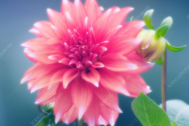 Dahlia flower and bud (Dahlia hybrid)