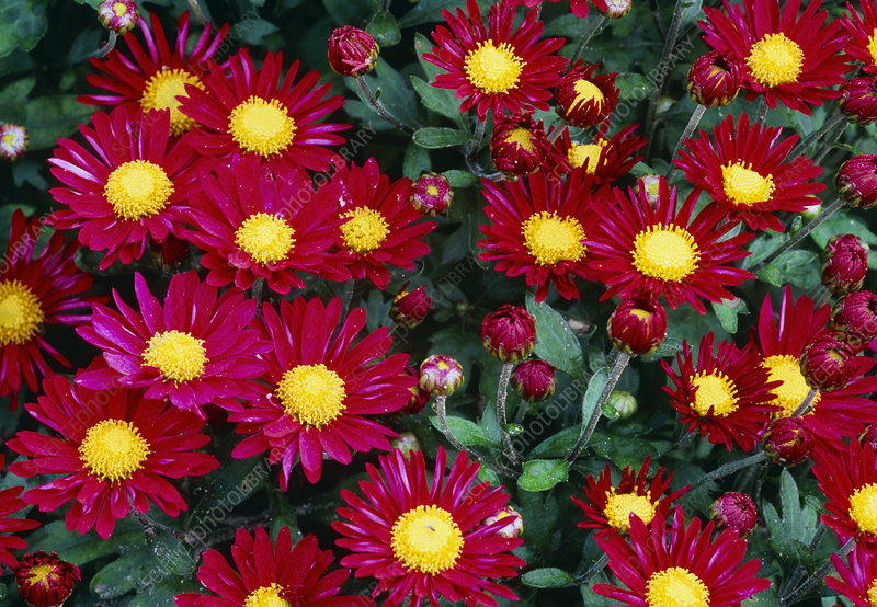 Garden chrysanthemum 'Creeper Dark Pink'