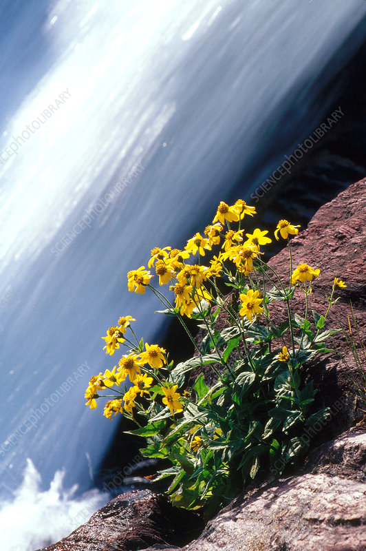 'Flowers and waterfall, Glacier National Park'