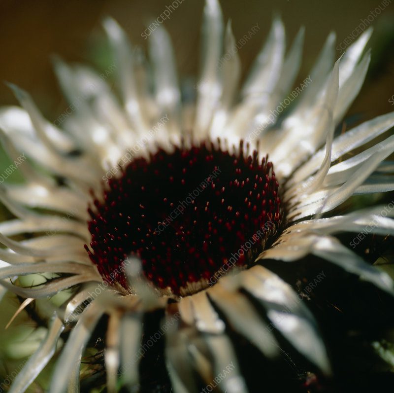 Carline thistle (Carlina sp.)