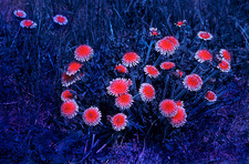 Dandelions in UV light