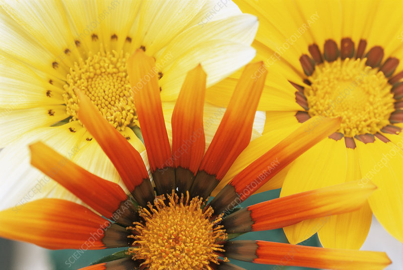 Treasure flowers (Gazania rigens)