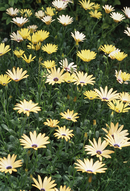 Osteospermum 'Orange Symphony'