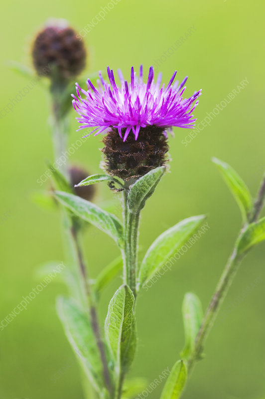 Knapweed (Centaurea sp.)