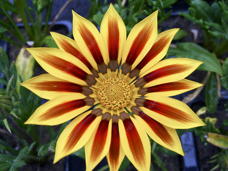 Gazania 'Kiss Yellow'