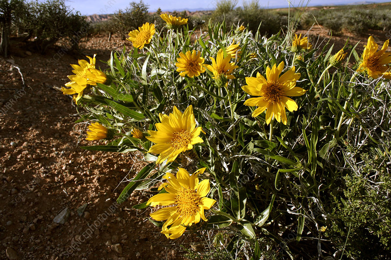 Rough mule ears (Wyethia scabra)