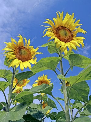 Sunflowers (Helianthus sp.)
