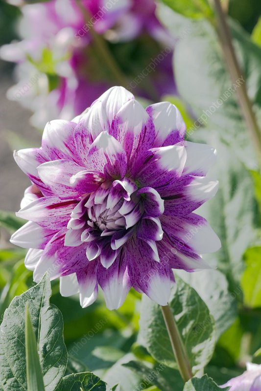 Sams Credit Login >> Dahlia 'Bristol Stripe' - Stock Image B539/1114 - Science Photo Library