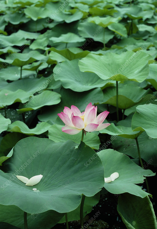Flower and leaves of sacred lotus