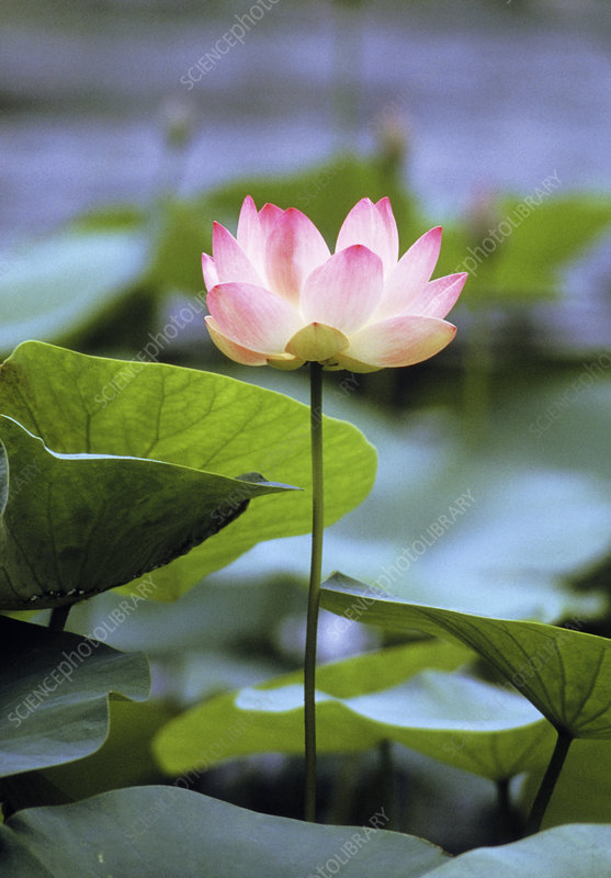 Flower of sacred lotus, Nelumbo nucifera