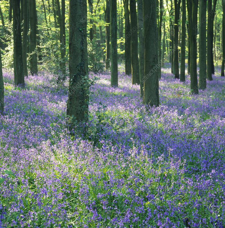 Carpet of bluebells in a wood