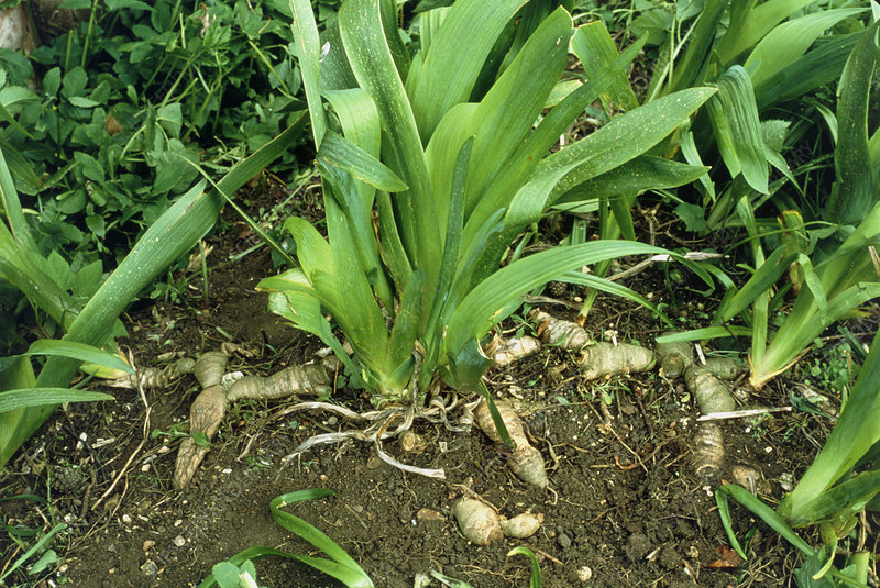 Rhizome and leaves of the iris plant