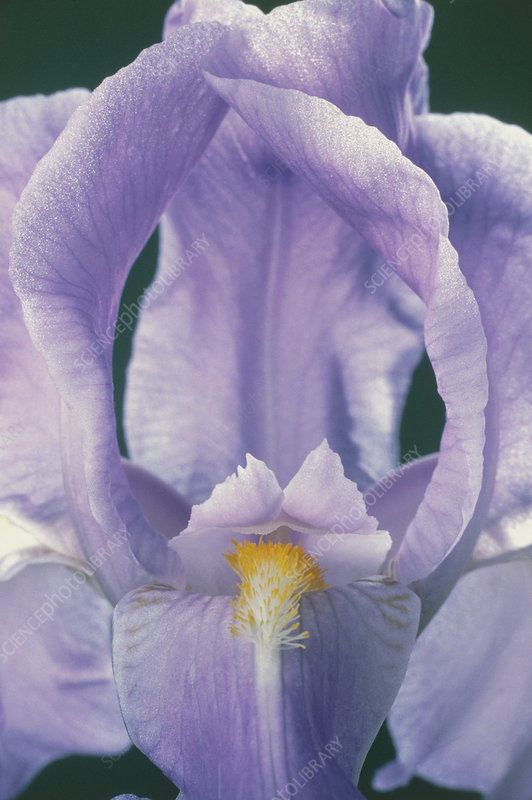Iris (Iris germanica) flower opening