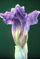 Iris flower shrivelling up
