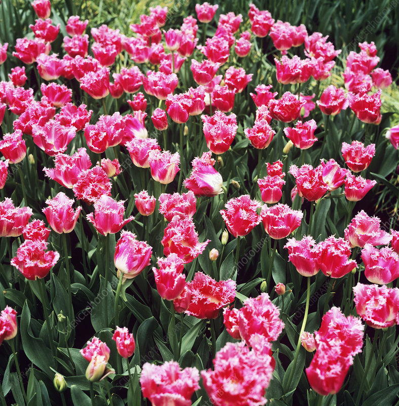 Fancy Frills tulips