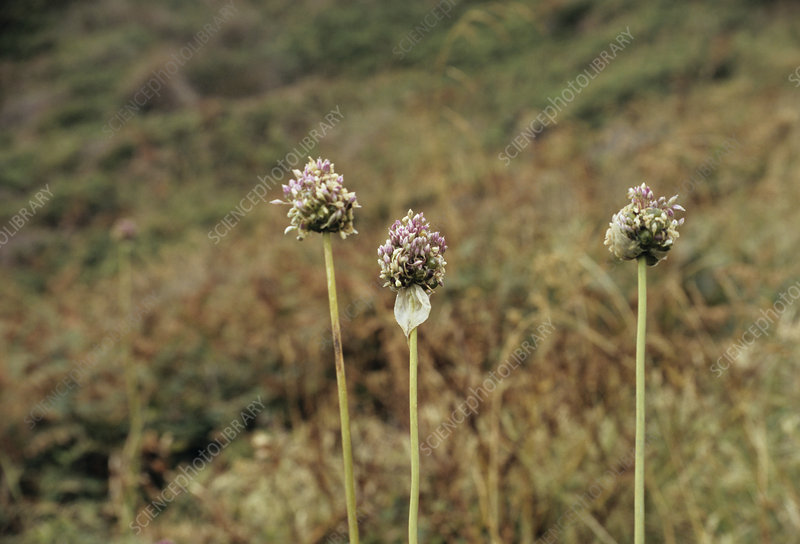 Babington's leek flowering heads