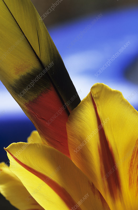Tulip and feather