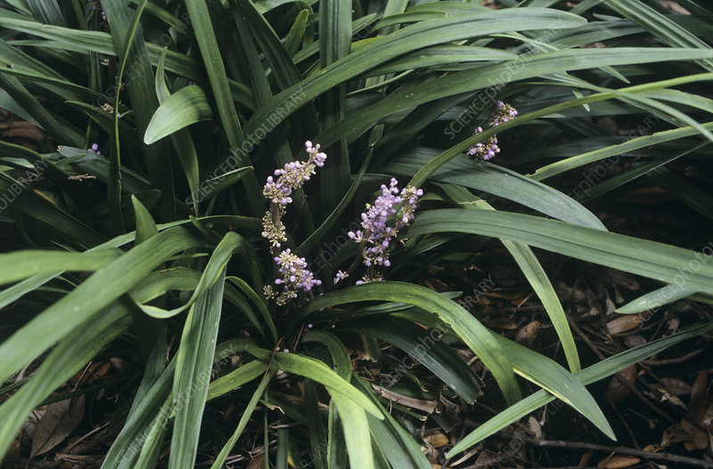 Border grass flowers (Liriope muscari)