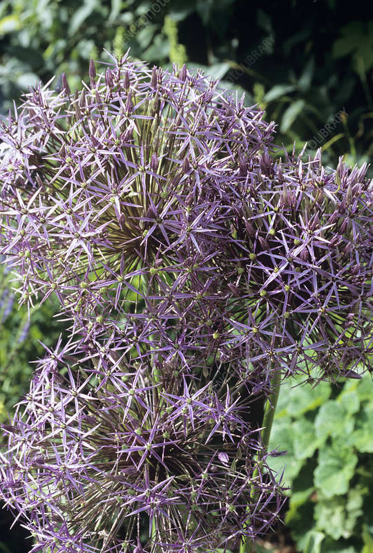 Star of Persia (Allium cristophii)