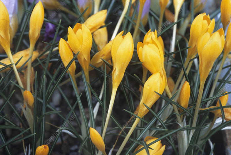Crocus 'Golden Bunch' flowers