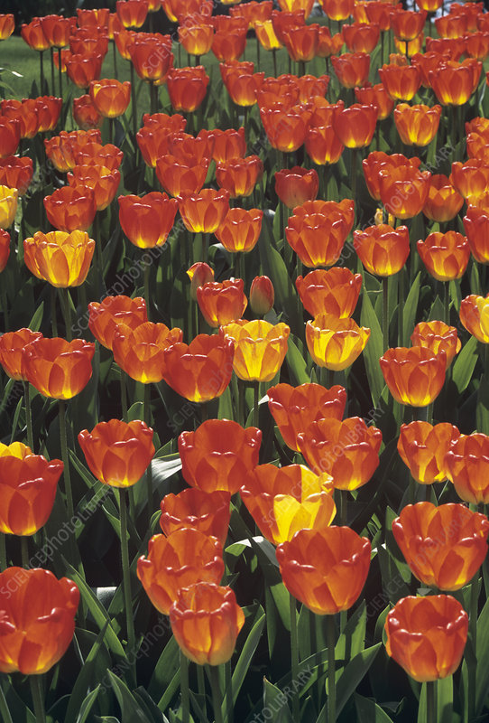 Tulip 'Orange Queen'