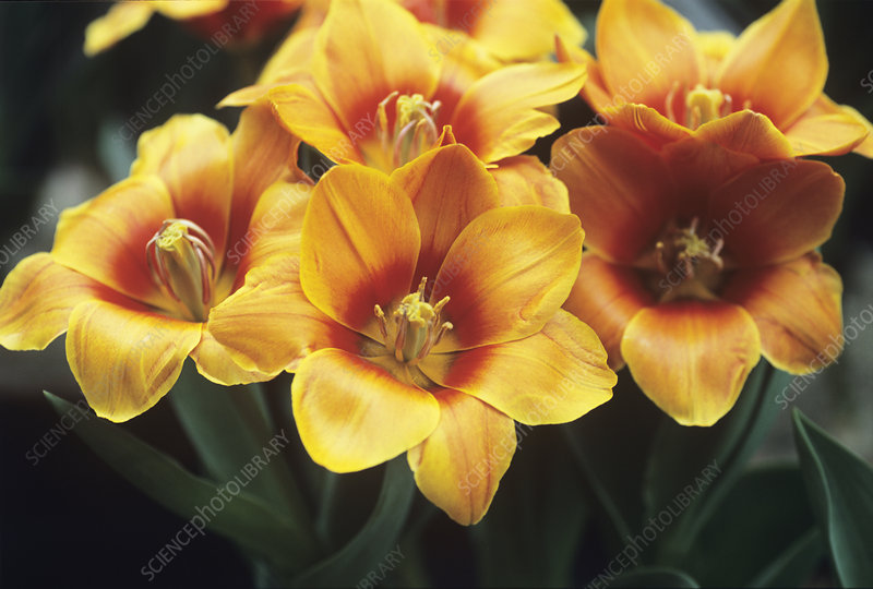 Tulips (Tulipa 'Early Harvest')