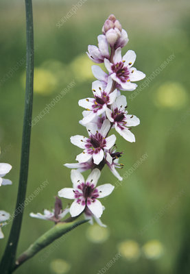 Greater waterphlox