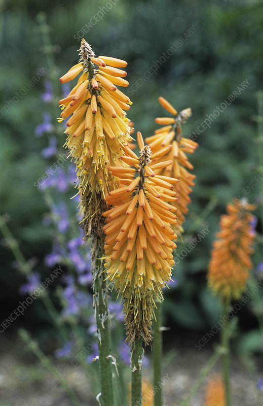 Red hot poker (Kniphofia ensiflora)